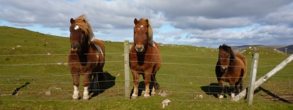 Photo Header for Links Page - Artist's Shetland Ponies370